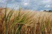 Barley Bends - Greeting Card